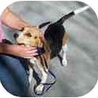 Adopt A Pet :: Kaya - Phoenix, AZ