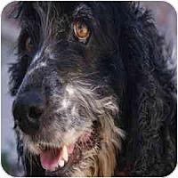 Adopt A Pet :: Gonzo - Phoenix, AZ