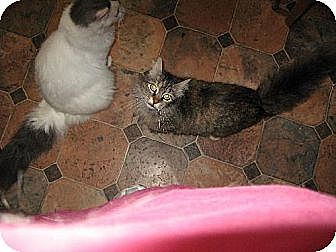 Domestic Mediumhair Cat for adoption in Sherman Oaks, California - Gweniviere
