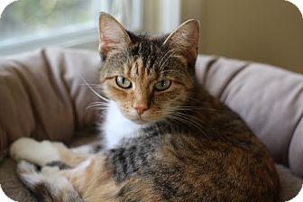 Domestic Shorthair Cat for adoption in Frankfort, Illinois - Tulip