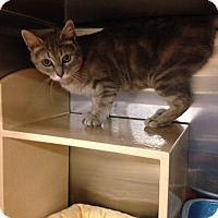 Domestic Shorthair Cat for adoption in Muncie, Indiana - Olivia