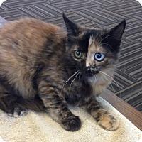 Adopt A Pet :: Mini Meatball - Acme, PA
