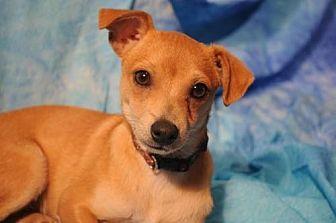 Chihuahua Dog for adoption in Dallas, Texas - BARKLEY - Chihuahua