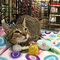 Domestic Shorthair Cat for adoption in San Antonio, Texas - Alice