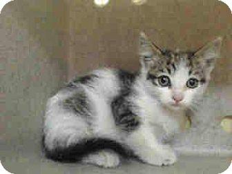Domestic Shorthair Kitten for adoption in Alhambra, California - Venus