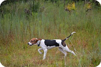 Treeing Walker Coonhound Puppy for adoption in Cape Coral, Florida - Danny