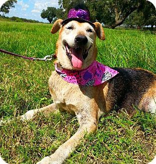 Shepherd (Unknown Type)/Hound (Unknown Type) Mix Dog for adoption in Simsbury, Connecticut - Isabel