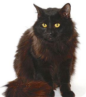 Domestic Longhair Cat for adoption in Gloucester, Virginia - BISSEL