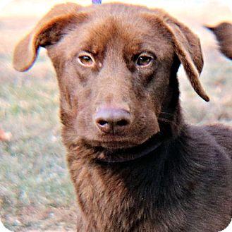 Labrador Retriever Mix Dog for adoption in Norristown, Pennsylvania - Diva