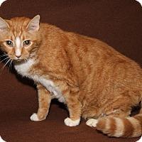 Adopt A Pet :: Wallace (Neutered & Declawed) - Marietta, OH
