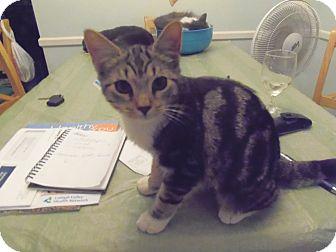 Domestic Shorthair Kitten for adoption in Catasauqua, Pennsylvania - Baby Whiskers