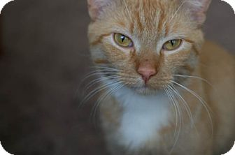 Domestic Shorthair Cat for adoption in Chicago, Illinois - Brian