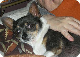 Chihuahua Dog for adoption in Las Vegas, Nevada - Zippy