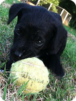 Labrador Retriever/Weimaraner Mix Puppy for adoption in Somers, Connecticut - Suzy Q