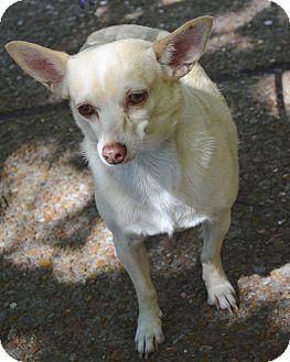 Chihuahua Dog for adoption in Bridgeton, Missouri - Stella