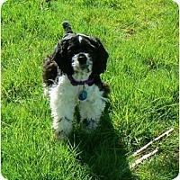 Adopt A Pet :: Murphie - Tacoma, WA