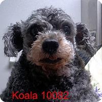 Adopt A Pet :: Koala - Greencastle, NC