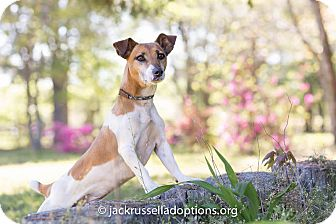 Jack Russell Terrier Mix Dog for adoption in Conyers, Georgia - Duffy