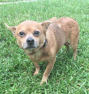 Chihuahua Mix Dog for adoption in Boca Raton, Florida - Scotlund