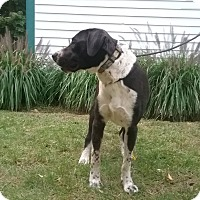 Labrador Retriever/Border Collie Mix Dog for adoption in Shelter Island, New York - Cooper