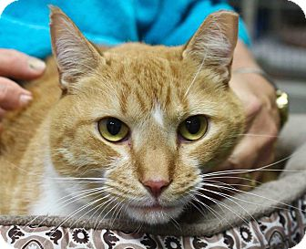 Domestic Shorthair Cat for adoption in Lansing, Kansas - Copper
