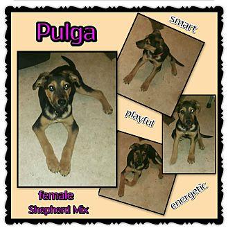 Shepherd (Unknown Type)/Doberman Pinscher Mix Puppy for adoption in Richmond, California - Pulga