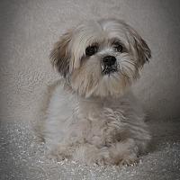 Adopt A Pet :: Caruso - Davie, FL