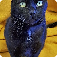Adopt A Pet :: Midnight - Colorado Springs, CO