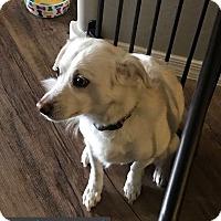 Adopt A Pet :: EDWARD 4 YR SPANIEL - Mesa, AZ