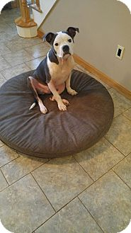 Pit Bull Terrier Mix Dog for adoption in East Randolph, Vermont - Lamb Chop