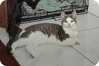 Domestic Shorthair Kitten for adoption in Miami, Florida - Missie