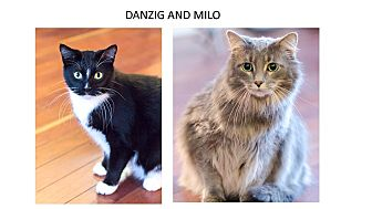 Domestic Longhair Cat for adoption in Chicago, Illinois - Danzig & Milo