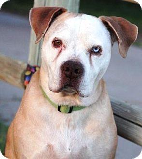 American Pit Bull Terrier Mix Dog for adoption in Gilbert, Arizona - Stranger
