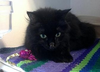 Domestic Longhair Cat for adoption in Sebastian, Florida - Licorice