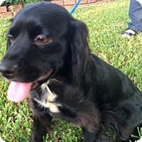 Adopt A Pet :: Yemelia - Houston, TX