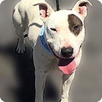 Bull Terrier Mix Dog for adoption in Las Vegas, Nevada - Hoku