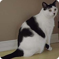 Domestic Shorthair Cat for adoption in Verdun, Quebec - Cosmo