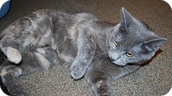Domestic Shorthair Cat for adoption in Council Bluffs, Iowa - Bailey