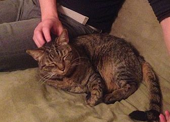 Domestic Shorthair Cat for adoption in Rochester, New York - Brady