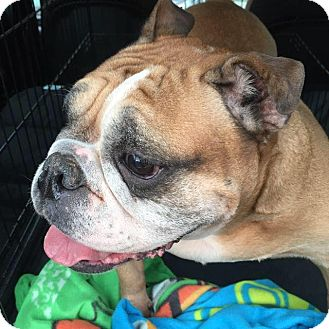 English Bulldog Dog for adoption in Park Ridge, Illinois - Nibbles