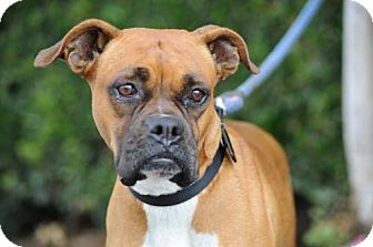 Boxer Dog for adoption in Alameda, California - Chelie