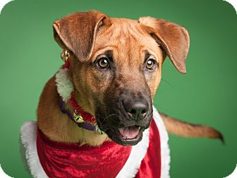 Hound (Unknown Type) Mix Puppy for adoption in Dallas, Texas - Roo