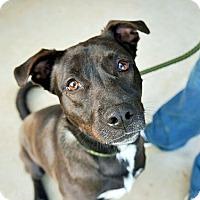 Adopt A Pet :: Millie - Austin, TX