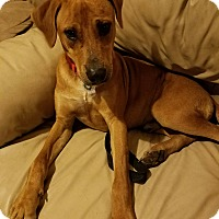 Beagle/Labrador Retriever Mix Dog for adoption in White Settlement, Texas - Odin