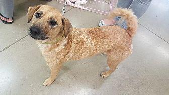 Terrier (Unknown Type, Medium)/Border Collie Mix Dog for adoption in Cleburne, Texas - Jodie