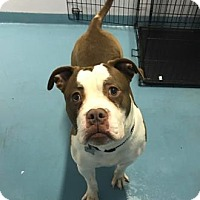 Adopt A Pet :: Skipper 5 - FEE SPONSORED FOR THE MONTH OF APRIL! - Chicago, IL