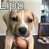 Adopt A Pet :: Lipp - PEORIA, AZ