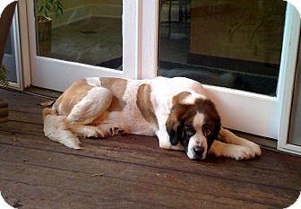 St. Bernard Dog for adoption in New Richmond, Ohio - Praline--adopted!!