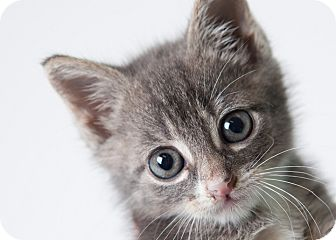 Domestic Shorthair Kitten for adoption in Rockaway, New Jersey - Peepers