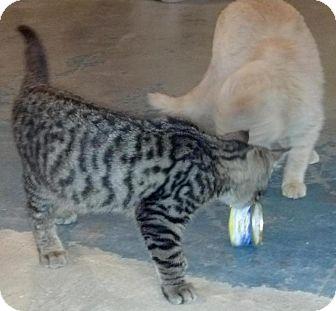 Domestic Shorthair Cat for adoption in Geneseo, Illinois - Jasper